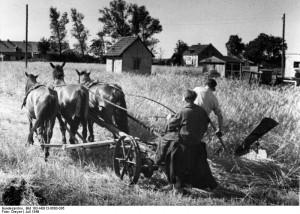 Zentralbild/Dreyer Juli 1949. Roggenernte im Kreis Oranienburg, Bezirk Potsdam. Die Mähmaschine ist ein für die Getreidemahd umgebauter Grasmäher mit Handablage.