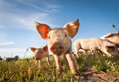 Godare kött från glada grisar